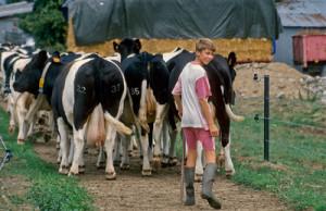 """Dairy farming,melkveehouderij,Élevage laitier,farm,boerderij,B"