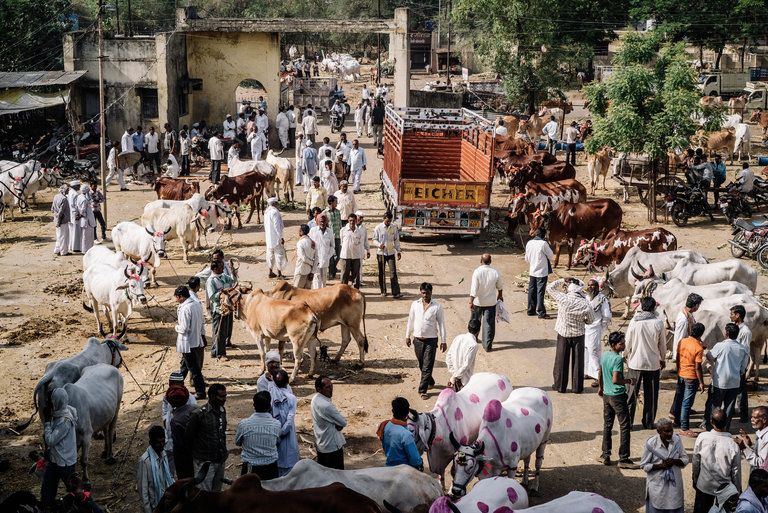 For Slaughtering  a Cow in India You Might Get Life in Jail